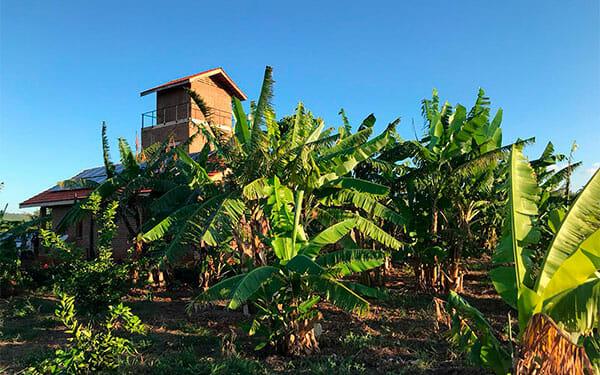 Mafiri Farm Bananenbäume
