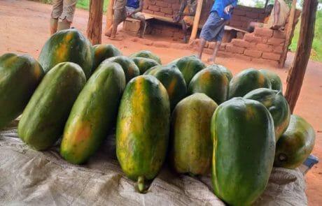 Papaya-Ernte
